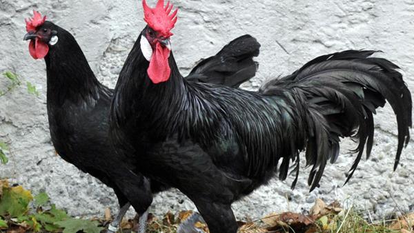 Hühnerrasse Augsburger Huhn